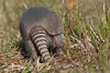 """The End"" Backside of a Nine-banded Armadillo (Dasypus novemcinctus)"