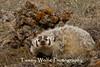 American Badger (Taxidea taxus)* (#8173)