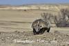 American Badger digging in the dirt*
