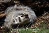 American Badger (Taxidea taxus)*