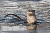 River Otter (Lutra canadensis), Grand Teton National Park