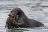 Mating Sea Otter (Enhydra lutris)