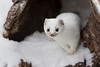 Short-Tailed Weasel/Ermine. Mustela erminea