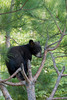 Black Bear Cub in a Tree*