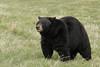 Black Bear (Ursus americanus) Adult