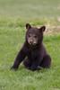 Black Bear (Ursus americanus) Cub