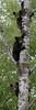 Black Bear (Ursus americanus) Cubs*