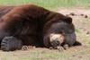 Resting Black Bear (Ursus americanus)