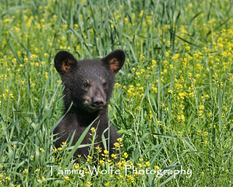 Black Bear Cub Playing in Wildflowers