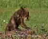 Bear Cub in northern Minnesota