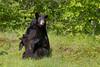 Black Bear (Ursus americanus) Cub Nursing*