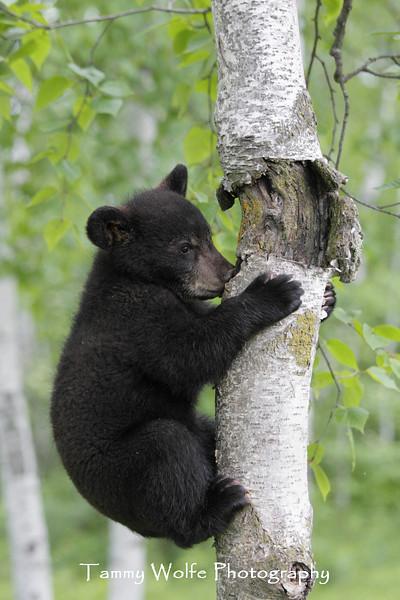 Black Bear (Ursus americanus) Cub in a Tree*