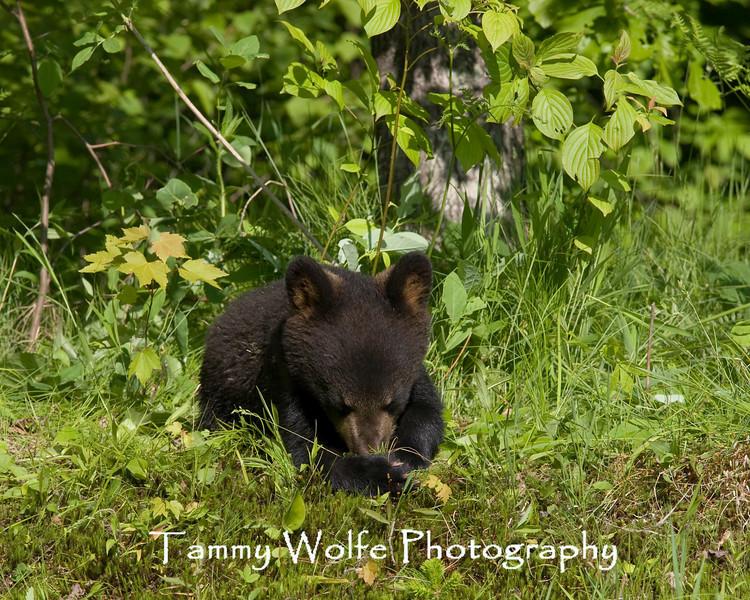 Black Bear (Ursus americanus) Cub*