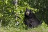 Black Bear (Ursus americanus)*