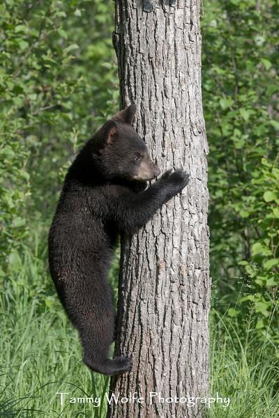 Black Bear Cub Climbing a Tree*