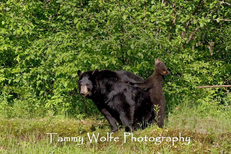 Black Bear with Cub* (#6757)