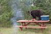 Black Bear (Ursus americanus), Raiding Campsite*