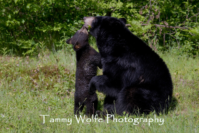 Black Bear Cub with Mother