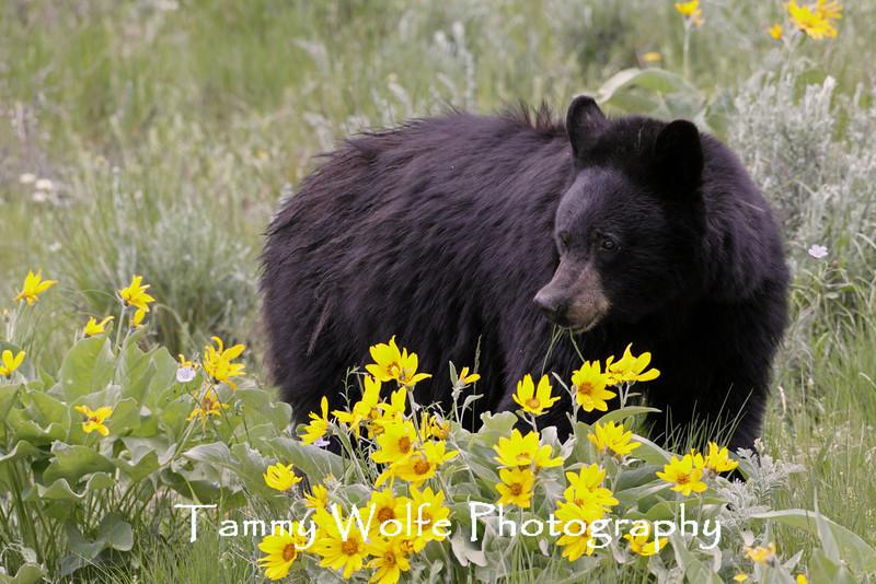 Black Bear (Ursus americanus), Yellowstone National Park
