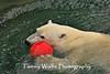 Polar Bear with a red ball, Lake Superior Zoo
