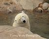 Polar Bear shaking off water, Lake Superior Zoo*