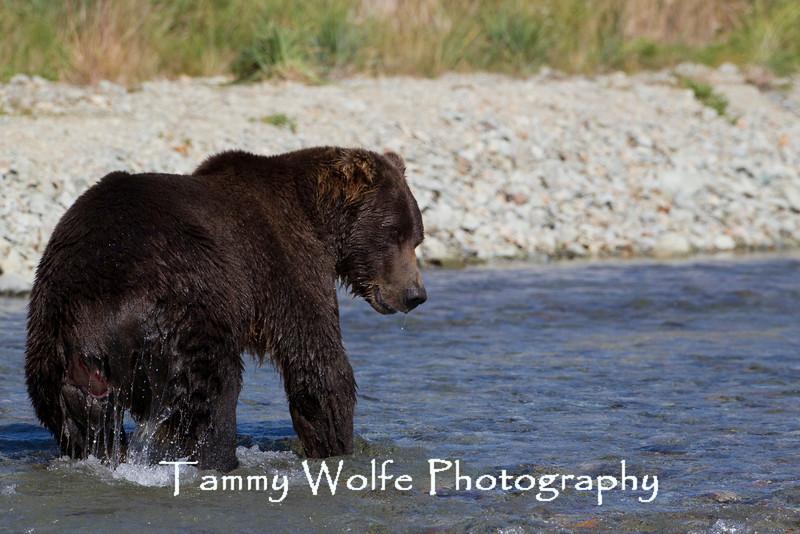 Brown bear (Ursus arctos) with fresh wound, Kinak Bay, Katmai National Park, Alaska