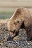 Brown bear (Ursus arctos) Cub Looking for Clams, Katmai Coast, Alaska
