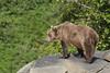 Brown bear (Ursus arctos), Geographic Harbor, Katmai National Park, Alaska