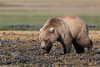 Well-fed Brown bear (Ursus arctos) yearling cub, Katmai Coast, Alaska