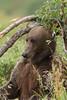 Brown bear (Ursus arctos) Scratching, Katmai Coast, Alaska