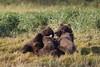 Brown bear (Ursus arctos), Sow with nursing cubs, Katmai Coast, Alaska