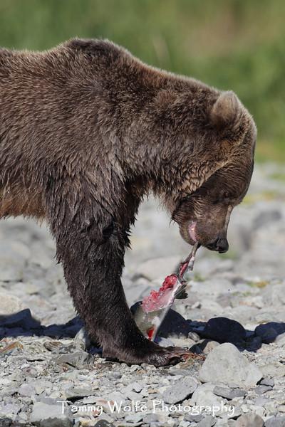 Brown bear (Ursus arctos) tearing into a Salmon, Katmai Coast, Alaska