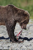 Brown bear (Ursus arctos) tearing into a Salmon, Katmai Coast, Alaska