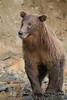 Brown bear (Ursus arctos), Kinak Bay, Alaska