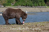 Brown bear (Ursus arctos) with Salmon, Geographic Harbor, Katmai National Park, Alaska