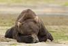 Brown bear (Ursus arctos) Resting, Kinak Bay, Katmai National Park, Alaska