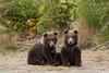 Twin Brown Bear (Ursus arctos) Cubs, Katmai Coast, Alaska