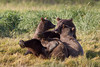 Brown bear (Ursus arctos) Nursing Cubs, Katmai Coast, Alaska