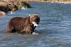 Brown bear (Ursus arctos) with Salmon, Geographic Harbor, Katmai National Park, Alaska