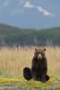 Sitting Brown bear (Ursus arctos), Katmai Coast, Alaska