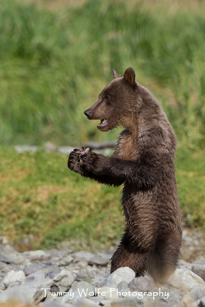 Standing Brown bear (Ursus arctos), Katmai Coast, Alaska
