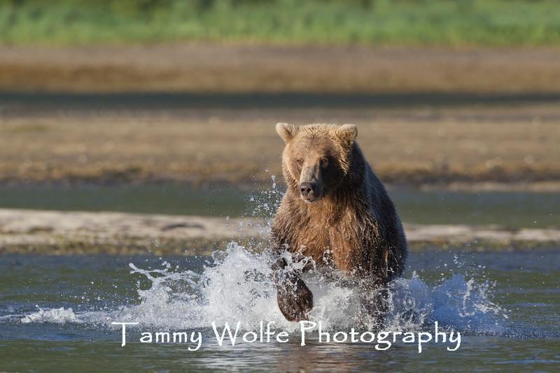 Brown bear (Ursus arctos), Geographic Harbor, Katmai Coast, Alaska