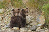 Spring Brown Bear Cubs (Ursus arctos), Kinak Bay, Katmai National Park, Alaska