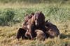 Brown bear (Ursus arctos) Sow Nursing Cubs, Kinak Bay, Katmai National Park, Alaska