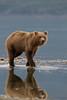 Brown bear (Ursus arctos) with reflection, Kukak Bay, Katmai National Park, Alaska