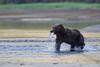 Brown bear (Ursus arctos) with Salmon, Katmai Coast, Alaska