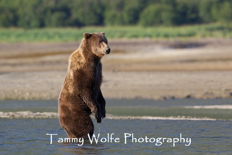 Standing Brown bear (Ursus arctos), Geographic Harbor, Katmai National Park, Alaska