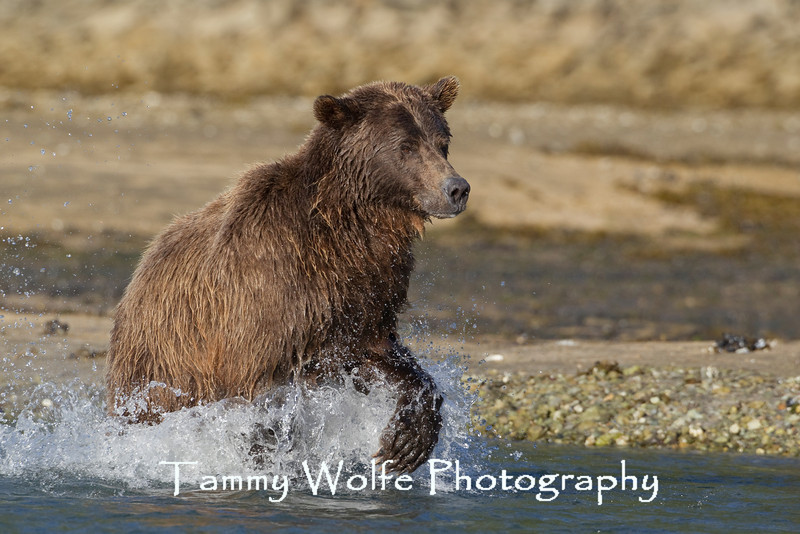 Brown bear (Ursus arctos), Katmai Coast, Alaska