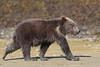 Brown bear (Ursus arctos), Spring Cub, Katmai Coast, Alaska