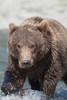 Curious Brown bear (Ursus arctos), Yearling Cub, Geographic Harbor, Katmai National Park, Alaska